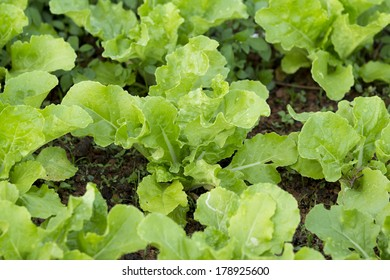 Green Vegetable Growing In The Farm