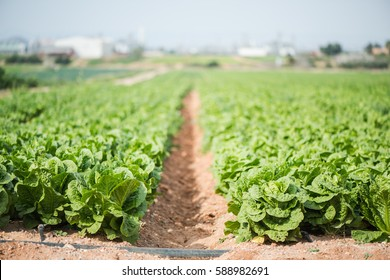 Green vegetables growing in field, farming and local produce concept