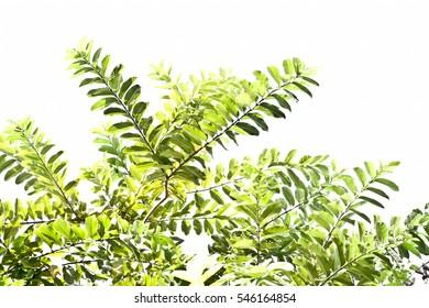 Green vegetation isolated on white.