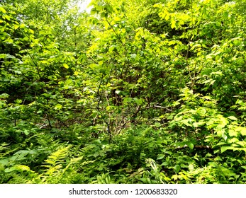 Green Vegetation in the Wood in a sunny summer day at the Massif du Sud, St-Philemon, Qc.