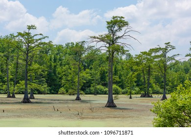 Green vegetationcovers the water in a cypress swamp in northwest Louisiana, near Elm Grove.
