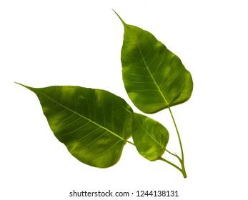 Green Vein Bodhi Three leaf on on white background