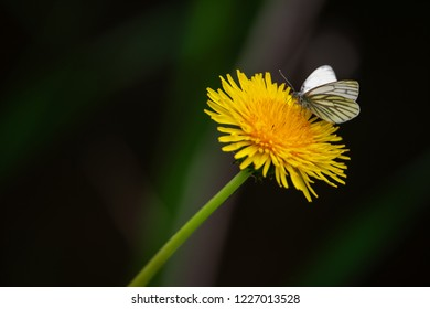 green veined white butterfly on a yellow dandelion with blurry dark background