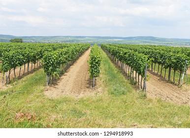Green Veltliner on the vine  field (German is Grüner Veltliner)white wine grape variety in Austria