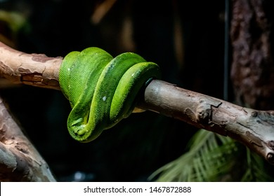 Green venom viper snake is sleeping on a branch closeup. Cute snake is hanging on a tree background.