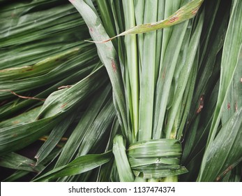 Green vetiver leaves