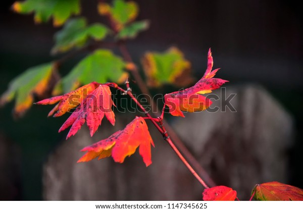 Green and vibrant red leaves in fall color