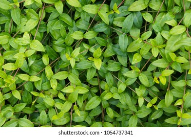 Green vinca leaves background