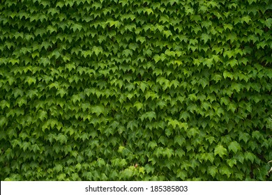 Green Vine Covered Wall