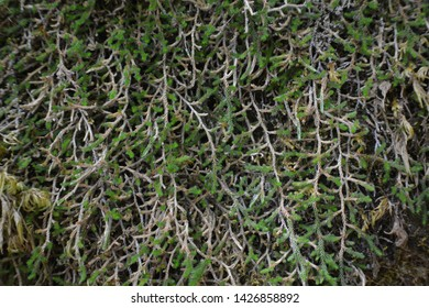 Green Vine Covered Wall in Forest