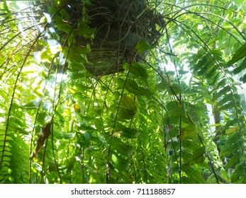 Green vine, fern leaves crowding on hanging coconut shell in a tropical garden, freshness and breeze breathing