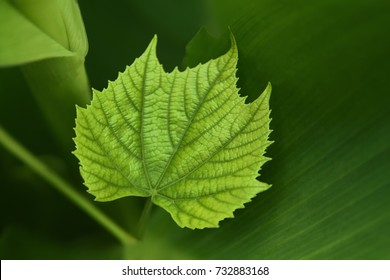 A green vine grape leaf close-up in a blurry foliage background