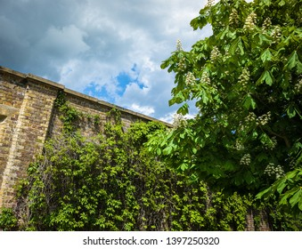 Green vine and Horse Chesnut on an old garden wall with dramatic stormy sky.