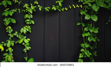Green Vine, ivy, liana, climber or creeper plant growth on black wooden wall with copy space on center or middle. Beauty in nature and natural design. Leaves on wallpaper or painted wood background.