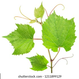 Green vine leaves or  grape leaves on white background. File contains clipping path.