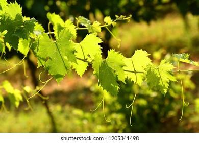 green vine leaves in a vineyard