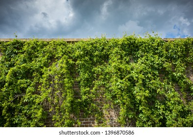 Green vine on an old garden wall with dramatic stormy sky.