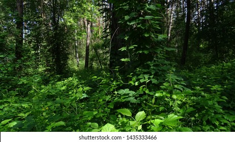 green vine plants on pine tree in forest