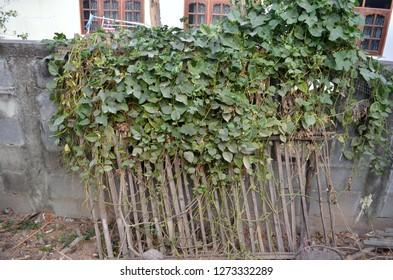 Green vine of spring beans or long beans climbing around the wooden slats which are used for planting this kind of vegetables and making an edible fence or greenfence for household