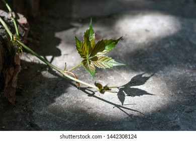 Green vine in the sunspot