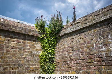 Green vine and wild Toadflax flowers on an old garden wall with dramatic stormy sky.