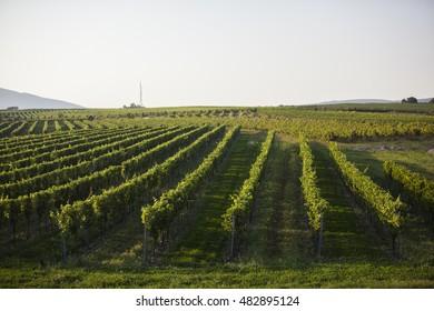 green vine yards landscape