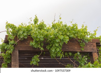 Green vines or foliage growing on a wooden pergola.