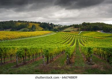 Green Vines in South Australia