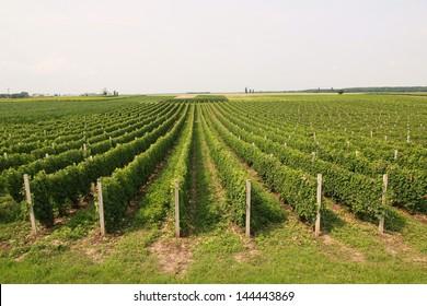 Green vineyard in beautiful field.