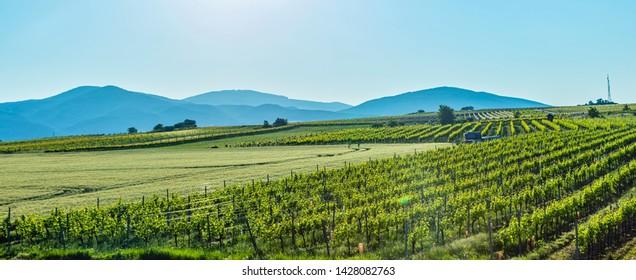 green vineyard rows landscape.nature landscape