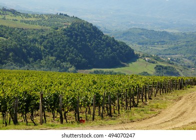 Green Vineyard in Tuscany region, Italy.