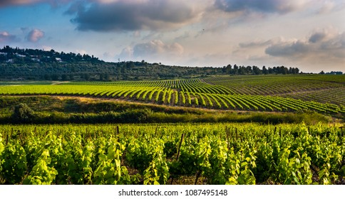 Green vineyards in the Ayalon valley, Israel