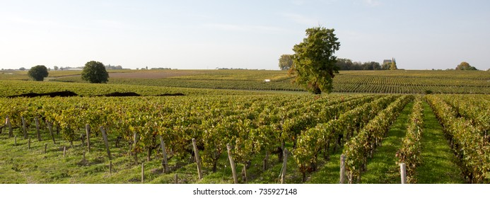 green vineyards in bordeaux haut medoc in france, french wine
