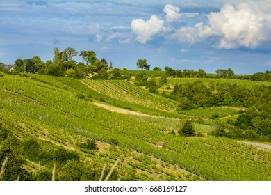 Green vineyards in the hills on a summer evening in the suburbs of Vienna