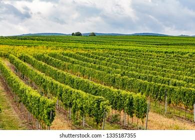 green vineyards rows landscape