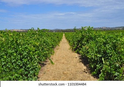 Green Vineyards at the summertime the Barossa Valley, South Australia. World famous wine region. Great tourism attraction