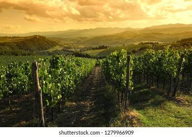Green vineyards at sunset in Chianti region, Tuscany. Italy