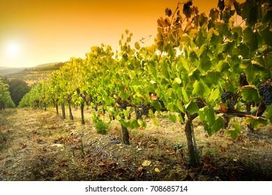 Green Vineyards in tuscany. Chianti, Italy.