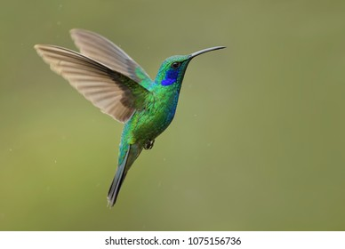 Green Violet-ear - Colibri thalassinus, beautiful green hummingbird from Central America forests, Costa Rica.