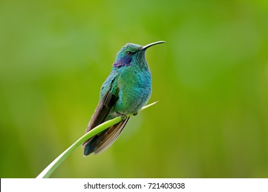 Green Violet-ear, Colibri thalassinus, green and blue hummingbird with green forest in background, Savegre, Costa Rica. Wildlife scene from jungle nature.