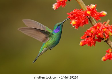 Green Violet-ear, Colibri thalassinus, flying in the nature tropical wood habitat, red flower, Tapanti NP, Costa Rica. Wildlife scene from jungle. Hummingbird with pink bloom in forest habitat.