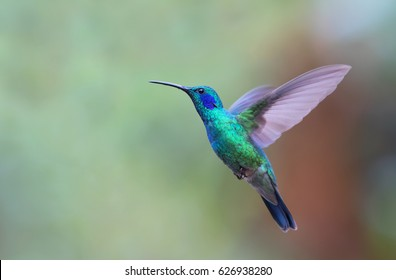 Green Violet-ear hummingbird (Colibri thalassinus) in flight isolated on a green background in Costa Rica
