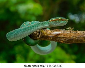 Green viper snake on branch, viper snake,  Trimeresurus Insularis