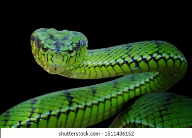 Green viper snake ready to attack, animal closeup with black background