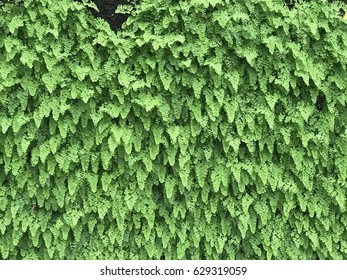 Green wall of ferns