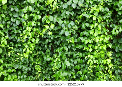 Green wall of Ivy leaves
