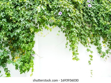 green wall with morning glory for background