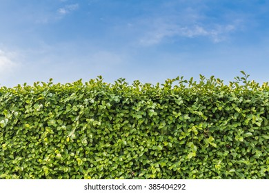 green wall. Tall hedge, endless seamless pattern, tall hedge with sky and grass.