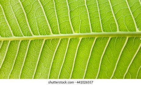 green walnut leaf background