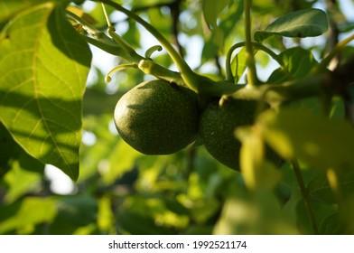green walnut on a branch in the sun - Shutterstock ID 1992521174